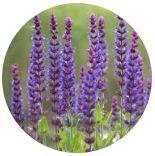 Šalvěj lékařská (Salvia officinalis)