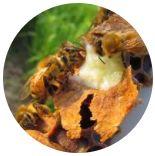 Včelí mateří kašička